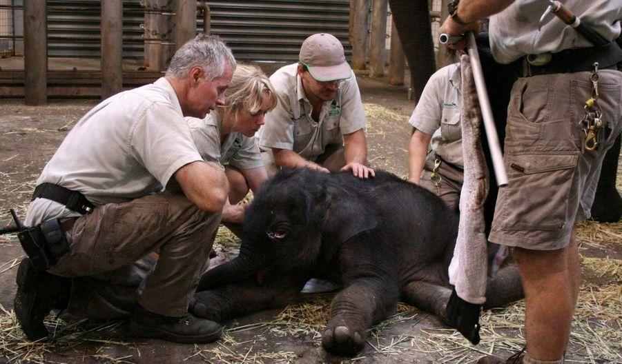 Il y a deux jours, une équipe de vétérinaires australiens établissait la mort du bébé d'un éléphant du zoo de Sydney. Une erreur de diagnostic : un éléphanteau a finalement vu le jour et la maman éléphante se porte bien !