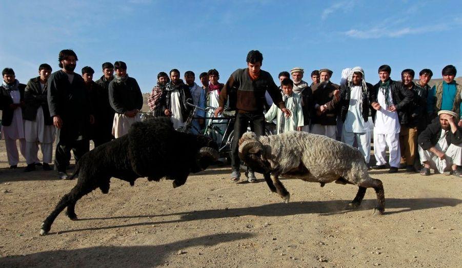 Combat de béliers à la sortie de Kaboul, en Afghanistan.
