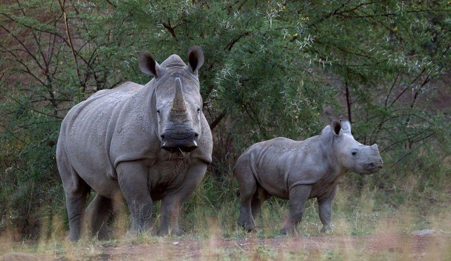Deux rhinocéros, dans le parc national du Pilanesberg. Le braconnage de ces mammifères, ainsi que celui des éléphants, serait en pleine progression, selon des spécialistes de l'environnement. En Afrique du Sud, près de deux rhinocéros sont tués chaque jour pour satisfaire la demande liée à la corne de l'animal, qui vaut plus que son poids en or.