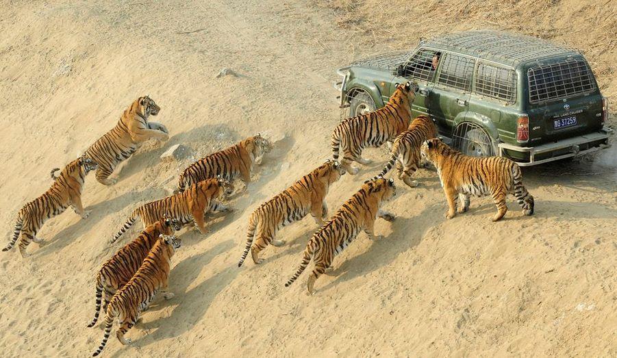 Des tigres de Sibérie s'approchent de la voiture d'un gardien, dans la réserve forestière de Harbin, en Chine. Près de 800 tigres de Sibérie vivent dans ce parc.