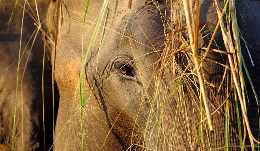 Ce lundi débute à Chitwan, au Népal, les jeux olympiques des éléphants, avec des courses, des parties de football et d'autres activités ludiques pour nos amis les pachydermes.