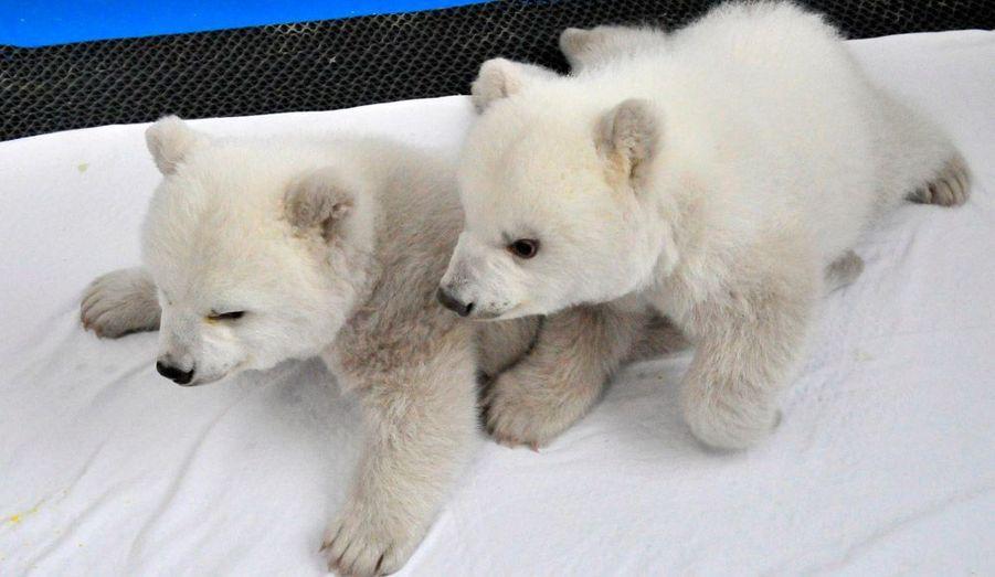 Deux oursons blancs jouent dans l'Ocean Park de Dalian, en Chine. Les oursons, qui sont nés le 14 octobre dernier, seront visibles par le public début 2012.