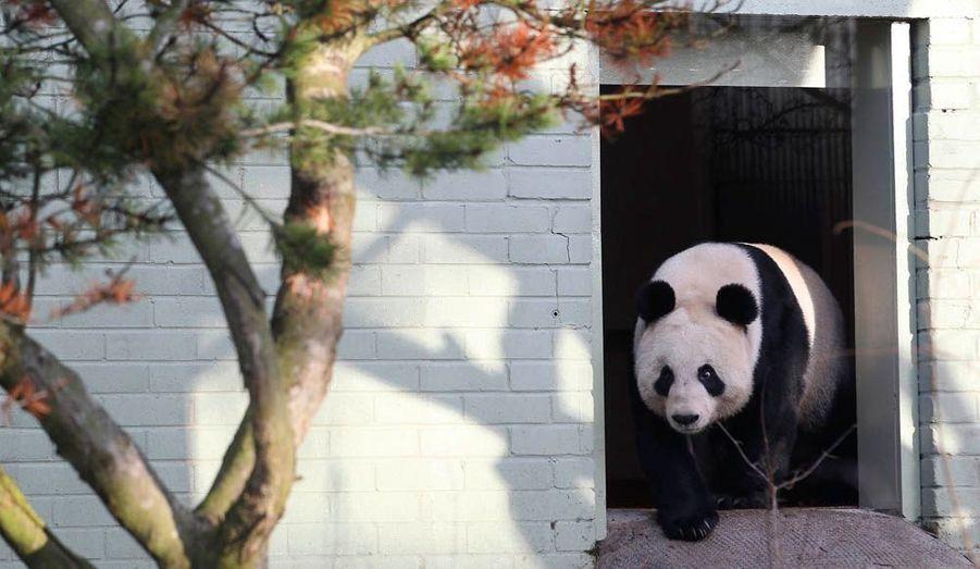 La femelle panda prêtée par la Chine au zoo d'Edimbourg crée bien malgré elle la polémique. Elle figure dans la liste des douze figures féminines de 2011 de la BBC, ce qui a provoqué l'ire des féministes.