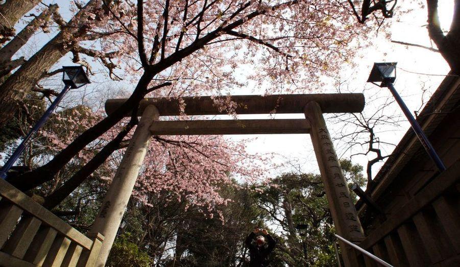 """Le Japon fête actuellement le printemps en contemplant la floraison des cerisiers, dont l'observation est une tradition profondément ancrée. Les bourgeons rose pâle sont en fleurs et rappellent qu'il est temps d'envahir les parcs, où les Japonais ont pour habitude de venir déjeuner ou faire la fête à l'ombre des cerisiers. Ces moments sont appelés """"hanami"""" (observation des fleurs, en japonais). Ces fêtes peuvent durer toute la journée ou toute la nuit."""