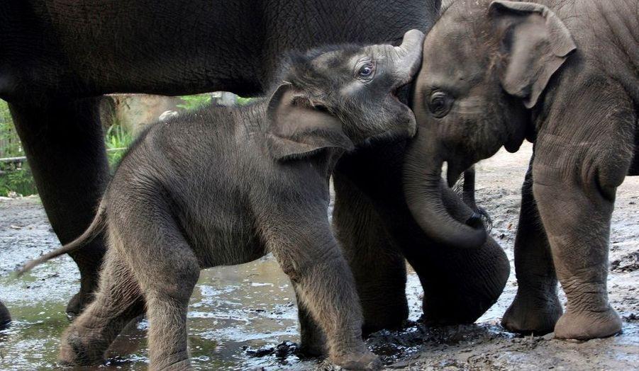 L'éléphanteau Pathi Harn (à g.) s'amuse avec son copain Luk Chai au zoo de Taronga à Sydney. Ce bébé mâle est un miraculé. Alors que les vétérinaires du zoo pensait que sa mère Porntip avait fait une fausse couche le 8 mars dernier, Pathi Harn est venu au monde deux jours plus tard.