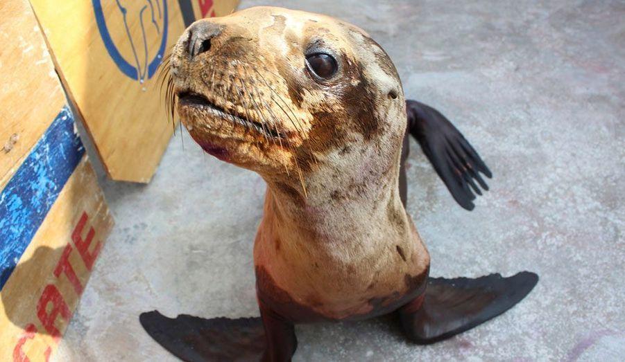 Luciano, une otarie âgée de 10 mois, a été soigné puis rendu à l'océan par l'ONG Orca à Lima, au Peru. Ici photographié durant sa rééducation, l'animal a fait l'objet de soins pendant deux semaines après avoir été trouvé malade le 5 novembre dernier.