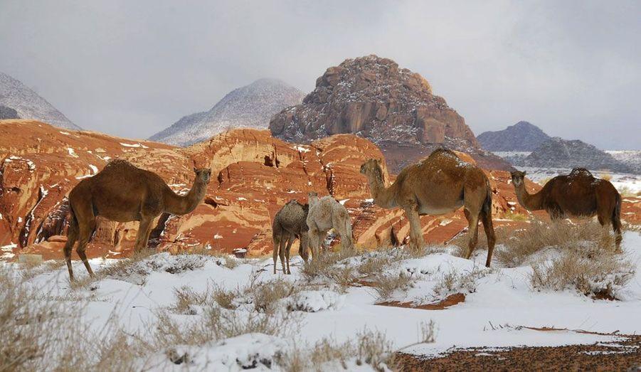 Les dromadaires n'ont pas l'air perturbés par la neige qui s'est abattue sur le désert près de Tabouk, en Arabie Saoudite.