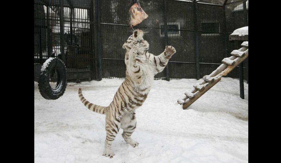 Khan, un tigre du Bengale blanc de 3 ans, participe à sa séance d'entraînement hebdomadaire au zoo de Krasnoïarsk, en Sibérie, visant à stimuler son habileté motrice et mentale comme s'il n'était pas en captivité.