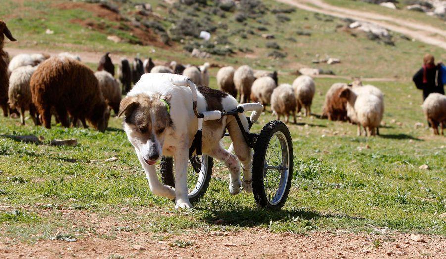 Abayed, un chien de berger de six ans, marche avec une prothèse à roues, à l'extérieur du centre pour animaux Humane Center for Animal Welfare, près d'Amman en Jordanie. Ce chien a été hospitalisé et soigné après avoir reçu une balle dans la colonne vertébrale et avoir été paralysé pendant 2 ans.