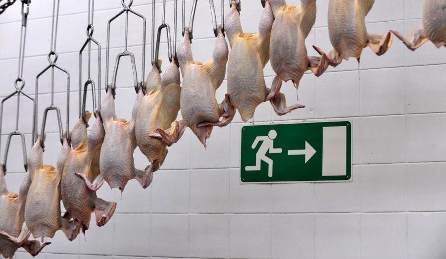 """Des poulets abattus pendentà l'usine Perutninarstvo de la ville de Pivka, en Slovénie. Environ 15000 volailles sont """"traitées"""" par jour et vendues à des grossistes et à des détaillants."""