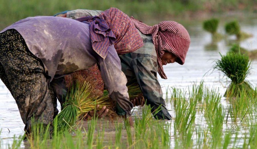 Des agriculteurs cambodgiens entretiennent les rizières dans la banlieue de Phnom Penh. Les exportations de riz du Cambodge au cours des six premiers mois de cette année ont dépassé l'ensemble de celles de l'année dernière a déclaré lundi un haut responsable commercial. Le pays cherche désormais à intensifier ces efforts de production pour devenir le leader mondial de l'exportation de riz.