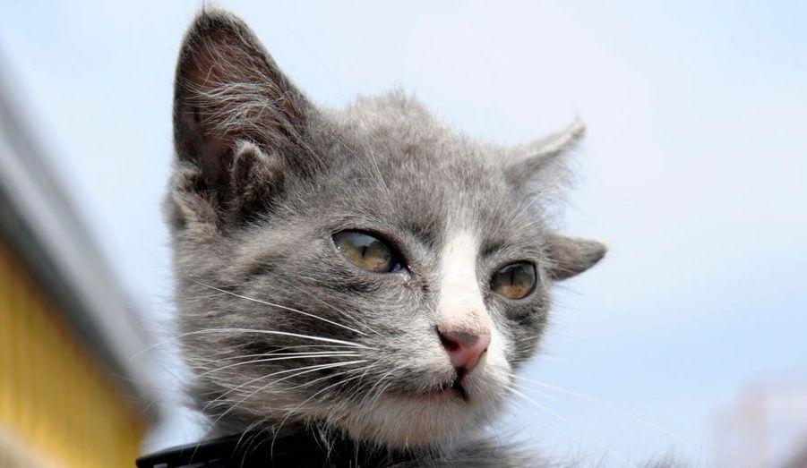 Le chaton Luntik, âgé de trois mois, est né avec deux paires d'oreilles dans une ferme de Vladivostok, en Russie. Mais son sens de l'ouïe n'en est pas décuplé pour autant, car les canaux des secondes oreilles du félin gris, qui vit dans une station service, ne fonctionnent pas. Dommage.
