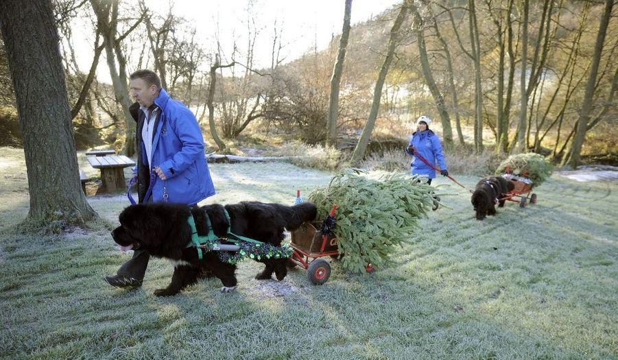 Deux chiens de race Terre-Neuve acheminent des sapins de Noël de la forêt jusqu'aux voitures des clients à Dalby, à proximité de Pickering, au nord de l'Angleterre, afin de récolter des fonds pour la fondation Yorkshire Air Ambulance.
