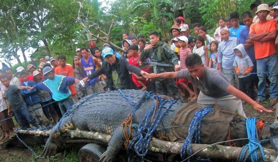 Un crocodile marin de 6,40 mètres et de plus d'une tonne a été capturé vivant aux Philippines, dimanche. Accusé d'avoir tué un fermier en juillet dernier, le reptile devrait désormais couler des jours paisibles dans un parc naturel de la région. Il s'agit du plus gros crocodile jamais capturé selon le Guinness Book des Records.