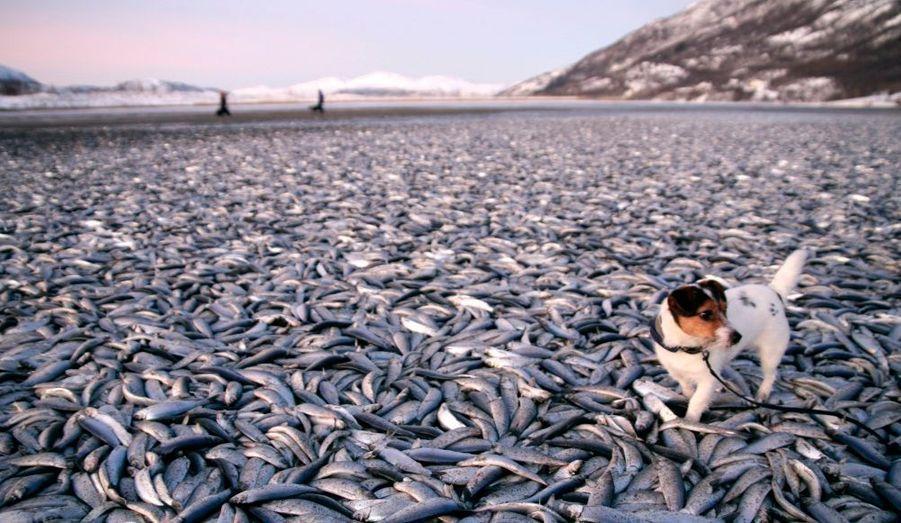 Un chien est tenu en laisse sur une plage recouverte de harengs morts à Kvennes, au nord de la Norvège. Des milliers de poissons se sont échoués sur le rivage, phénomène inexpliqué par les scientifiques.