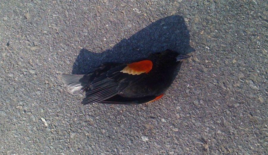 Quelques jours après un incident similaire dans l'Arkansas, un demi-millier d'oiseaux morts se sont abattus sur une portion d'autoroute de Louisiane. Comme à Beebe, petite localité de l'Arkansas où sont tombés quelque 5.000 volatiles dans la nuit du nouvel an, des carouges à épaulette figurent parmi les oiseaux retrouvés lundi à Pointe Coupee Parish. Jim LaCour, vétérinaire de l'Etat de Louisiane, a souligné qu'un grand nombre des oiseaux découverts portaient des traces de blessures traumatiques. Ils ont peut-être percuté des lignes électriques à haute tension bordant l'autoroute où ils sont tombés.