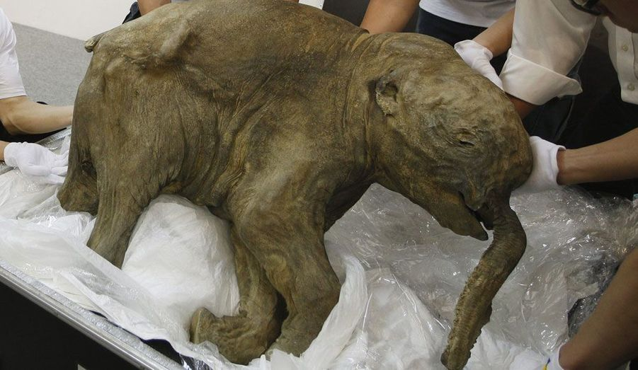 Ce bébé mammouth prénommé Lyuba sera exposé à partir de jeudi à l'IFC Mall de Hong-Kong. Découvert en 2007 par un éleveur, il est en parfait état de conservation.