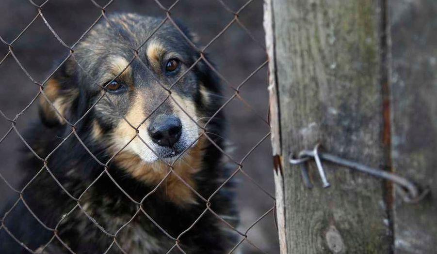 Un chien est vu dans un refuge pour animaux privés, Sirius, qui abrite quelque 1600 chats et chiens près du village ukrainien de Yasnogorodka. Les défenseurs des droits des animaux tentent d'attirer l'attention sur la pratique de l'abattage des chiens errants dans le cadre de la politique de Kiev visant à préparer l'EURO 2012.