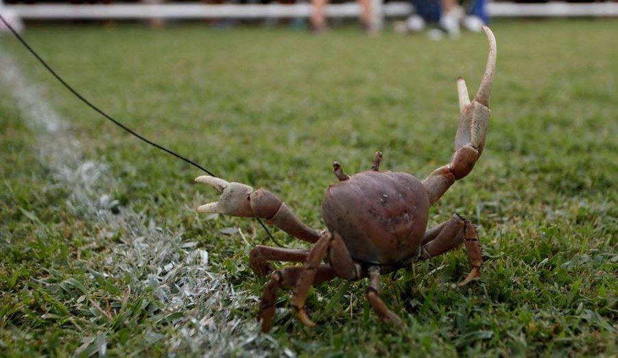 Sur l'île de Tobago, au sein de l'Etat de Trinité-et-Tobago, au large du Venezuela, une course de crabe est organisée chaque année. Cette année, c'est le crabe mené par une Britannique, Georgina Kirk, qui a triomphé. Le courses de crabes ne sont toutefois qu'une distraction en marge de la compétition principale, qui met aux prises des chèvres.