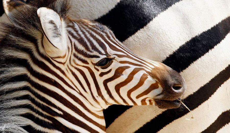 Un zèbre vient de naître au zoo de Rome. Ses parents, Wendy et Chucky, viennent d'un parc animalier hollandais. Les autorités du zoo ont ouvert un concours sur leur site web pour que des noms pour le jeune zèbre soient suggérés. L'animal étant né quelques jours avant que les Pays-Bas ne soient battus par l'Espagne, ils s'attendent à ce que beaucoup de noms de footballeurs soient donnés.