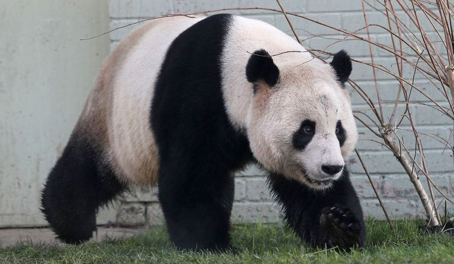 Tian Tian, le panda géant femelle loué par la Chine au zoo d'Edimbourg, a pris possession de son nouvel enclos écossais.