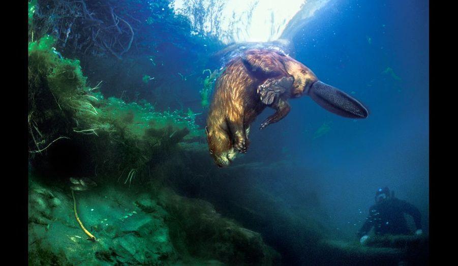 Le castor est costaud : il peut peser jusqu'à 25 kilos et dépasser largement le mètre. Mais, sous l'eau, il se déplace avec une légèreté et une grâce étonnantes.