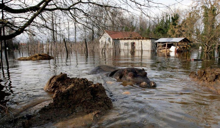 Nikica se promène dans les rues inondées du village de Berislavci, à environ 25 km au sud de Podgorica, la capitale du Monténégro. Selon le propriétaire du zoo, l'hippopotame de 12 ans a été libéré de sa cage après le déluge qui s'est abattu sur le pays. Seul représentant de son espèce au Monténégro, Nikica, deux tonnes, s'échappe chaque année de son habitat, lors des inondations saisonnières...