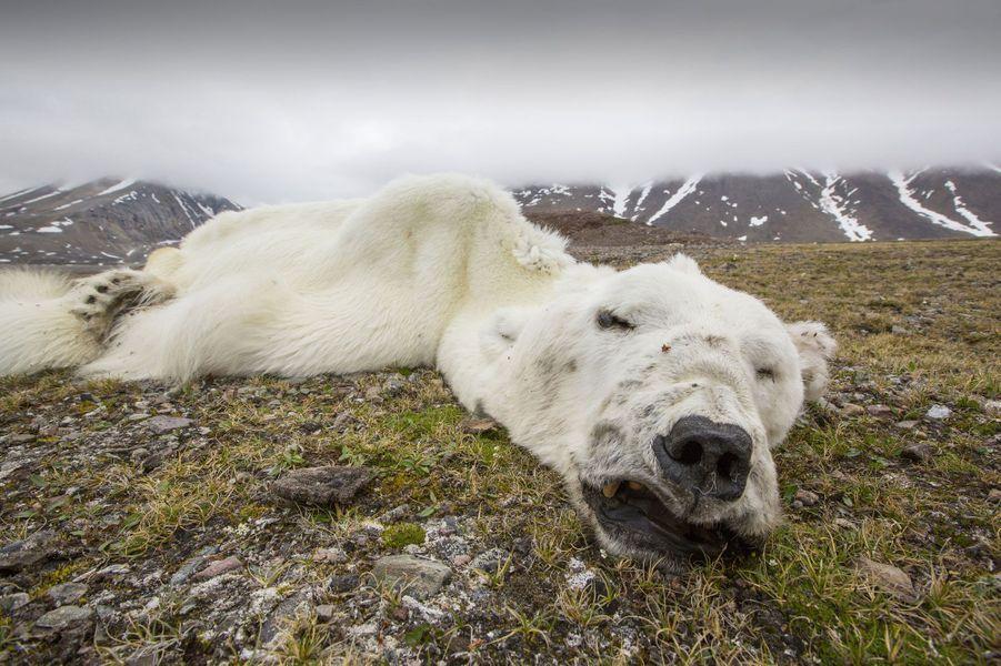 La photo d'un ours polaire maigre à l'extrême, gisant au sol sur l'herbe trop verte de l'archipel norvégien du Svalbard, a provoqué une onde de choc à travers le monde. L'animal est mort de faim, incapable de mettre la main sur ses proies préférées. Et pour cause, les phoques qu'il aimait tant ont migré ailleurs, là où les glaces n'ont pas encore fondu… Un cliché impressionnant qui rappelle à quel point les animaux sauvages sont vulnérables face au réchauffement climatique.