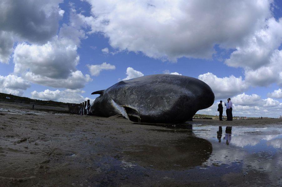 Un cachalot retrouvé en Angleterre en 2011