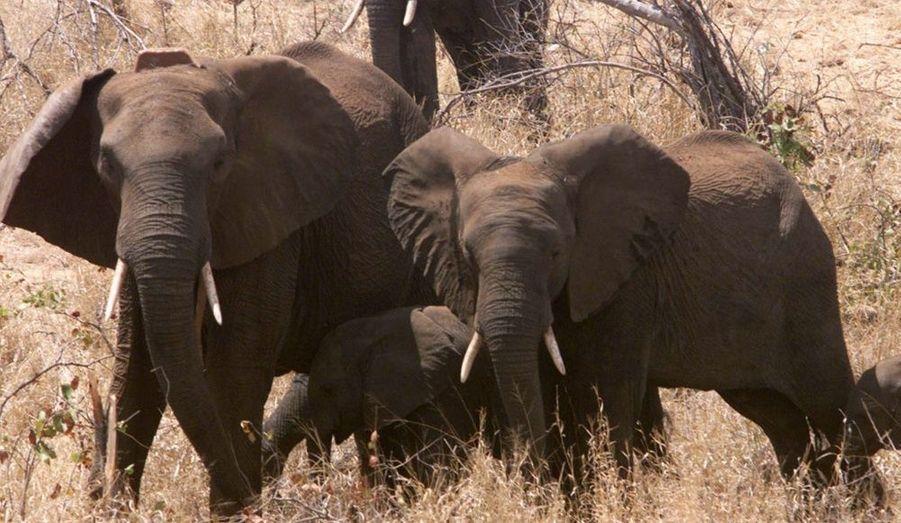 Les éléphants d'Asie sont pourchassés pour leurs défenses en ivoire qui sont revendues très chères par les braconniers. La déforestation massive diminue leur habitat et explique la disparition progressive de l'espèce. Au début du 20ème siècle, le nombre d'éléphants d'Asie était estimé à 100 000, en 2004 ils n'étaient que 50 000.