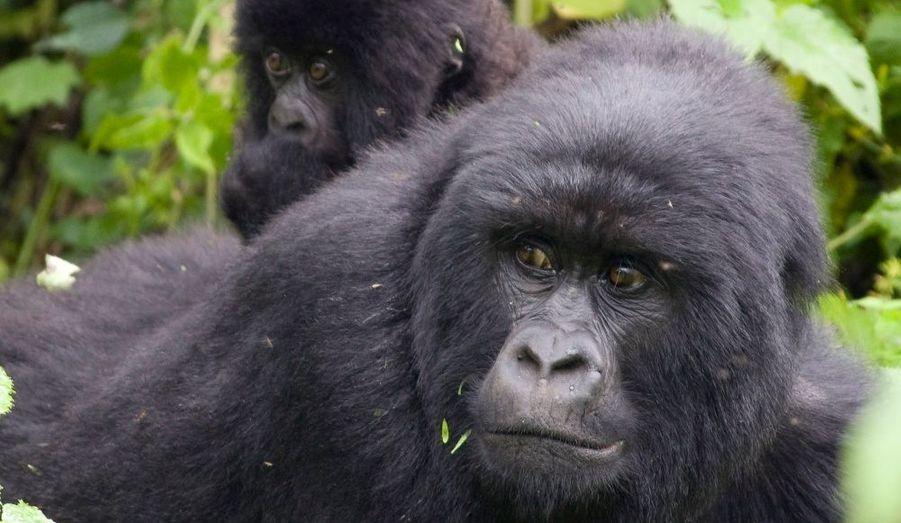 La déforestation et le braconnage sont les principales causes de la disparition du gorille. Les braconniers adorent le gorille pour sa viande, son crâne et ses mains, qui sont censées porter chance et qu'ils revendent à prix d'or. L'environnement des gorilles est éphémère car les populations des régions où ils vivent abattent les arbres pour construire des habitations, faire du feu ou vendre du bois. Le gorille se retrouve également fragile face aux maladies telles que la pneumonie ou la grippe, qui sont mortelles pour lui.