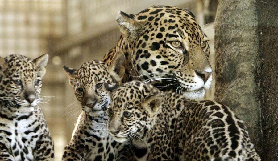 Comme la plupart des espèces menacées, le jaguar se fait très rare à cause de la dégradation de son habitat.