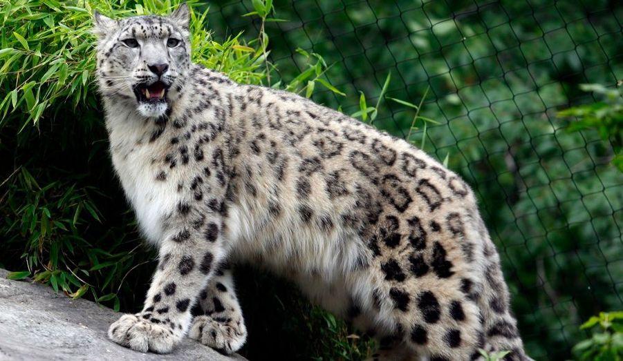 Le léopard des neiges est pourchassé pour sa fourrure. Une autre menace, liée au braconnage, vient de faire son apparition : le commerce des os. Les os de tigre sont utilisés dans les médecines traditionnelles asiatiques mais sont rares. Les os des leopards des neiges sont donc recherchés. Il fait également l'objet d'un conflit auprès des populations locales et notamment des bergers notamment parce qu'il se nourrit de moutons et de chèvres sauvages.