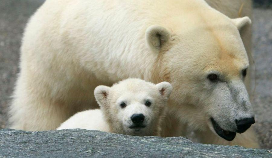 L'ours polaire, ou ours blanc, est victime du réchauffement climatique. Il est condamné à mourir de faim (les poissons se font rares) ou d'épuisement (la banquise fond, les distances sont donc plus longues à parcourir).