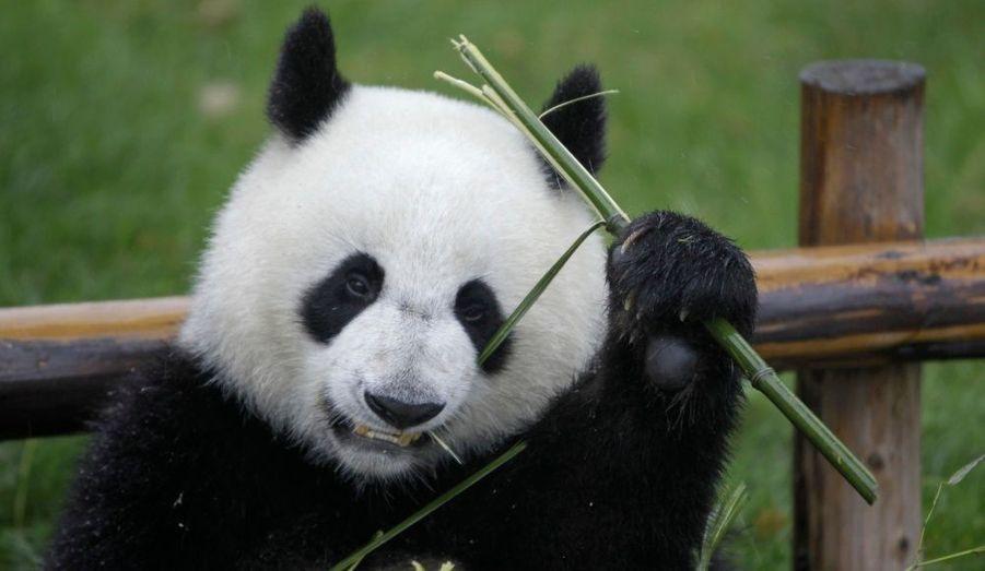 Le Panda se nourrit essentiellement de bambous. S'il n'en a pas assez, il meurt. La déforestation est donc la principale cause de sa disparition. Mais les pandas se blessent souvent ou se font tués dans des pièges installés par des braconniers, qui sont destinés à l'origine à d'autres animaux.