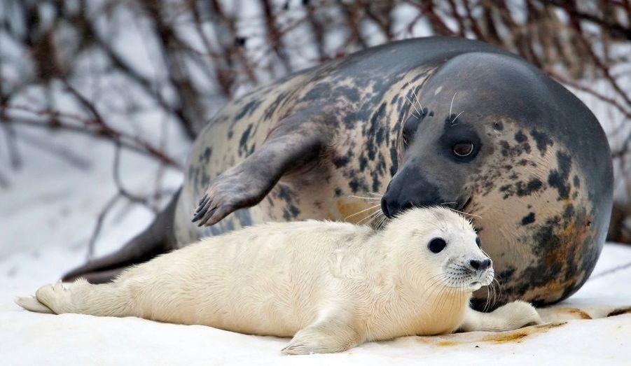 Les phoques sont littéralement massacrés avec les fameux hakapiks (outil qui ressemble à un pic à glace). Les chasseurs les torturent longuement avant de récupérer leurs fourrures et leurs graisses. Parfois dépecés vivants, l'agonie est insoutenable pour ces animaux.