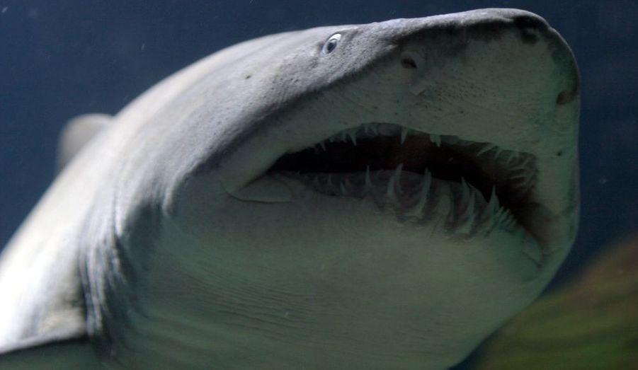 La chair du requin est appréciée et utilisée pour les engrais et les fertilisants. Ses cartilages sont utilisés dans la fabrication de médicaments. Ses dents servent souvent à faire des colliers qui seront ensuite vendus aux touristes. L'aileron est aussi très demandé, il représente un met rare notamment pour les mariages asiatiques. Une fois pêché, le requin peut être relâché dans la mer sans aileron (coupé par les pêcheurs). Il est alors condamné à mourir puisqu'il ne peut plus se diriger.