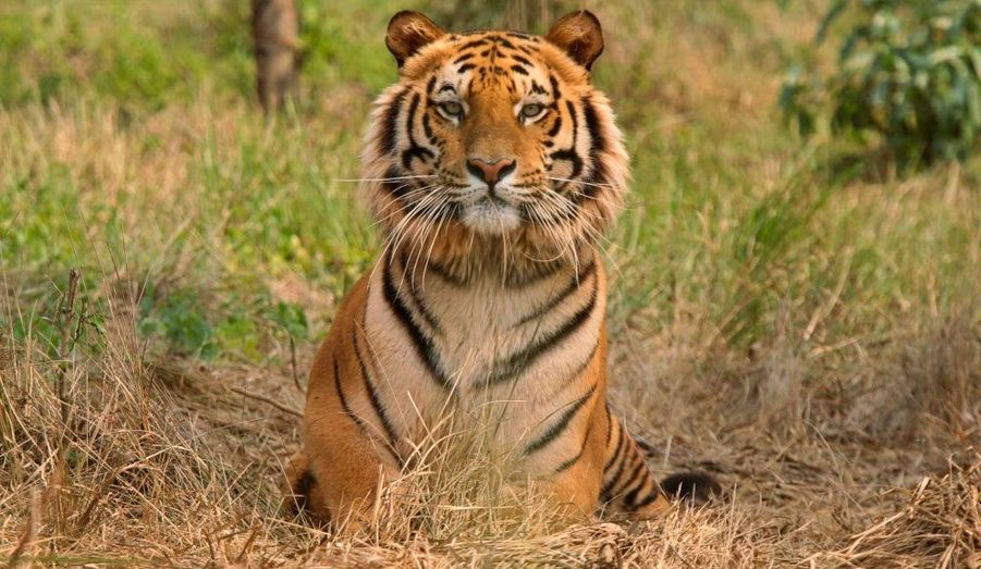 Le Tigre du Bengale est recherché pour sa peau. Seulement 30 à 50 tigres vivent actuellement dans des régions montagneuses de la province du Guizhou, dans le sud-ouest de la Chine. Leur fourrure a une très grande valeur marchande en Asie et certains organes sont réputés pour leurs vertus curatives miraculeuses.
