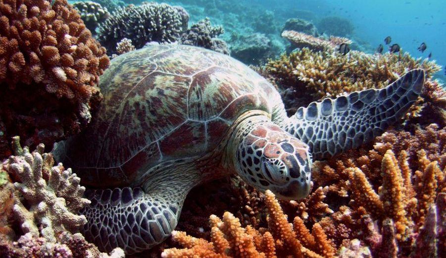 Le commerce de tortues est interdit dans les pays de l'Union européenne, mais il existe toujours dans les pays d'Afrique du Nord. Tous les ans, des dizaines de milliers de tortues sont vendues aux touristes. Elles sont également recherchées comme animal de compagnie. C'est par exemple le cas à Hong Kong, en Malaisie, en Thaïlande et à Singapour, où elles sont vendues 5 euros pièce. Leur carapace est aussi utilisée pour fabriquer des bijoux et des objets de décoration. Chaque année, 3 000 tortues sont ainsi massacrées.