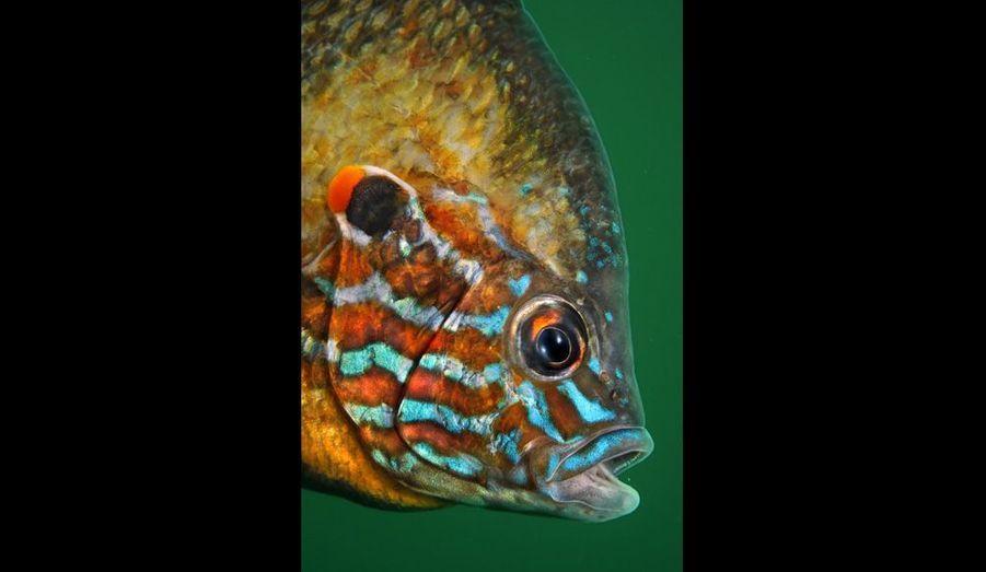La perche soleil (ici, un mâle) se distingue par sa forme arrondie et ses couleurs vives. Elle se nourrit de petits poissons, mais aussi d'œufs et d'alevins, mettant en péril la survie des autres espèces.