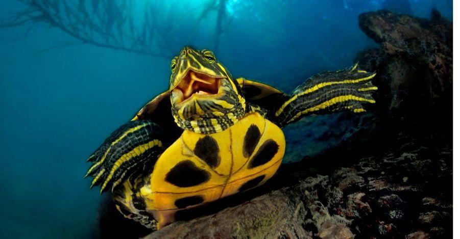 C'est l'homme qui l'a introduite dans les rivières françaises (ici, le Gardon). Acheté comme animal d'ornement puis lâché dans la nature une fois l'engouement passé, le reptile s'est acclimaté à son nouvel environnement. Au point de menacer la cistude d'Europe, notre tortue.
