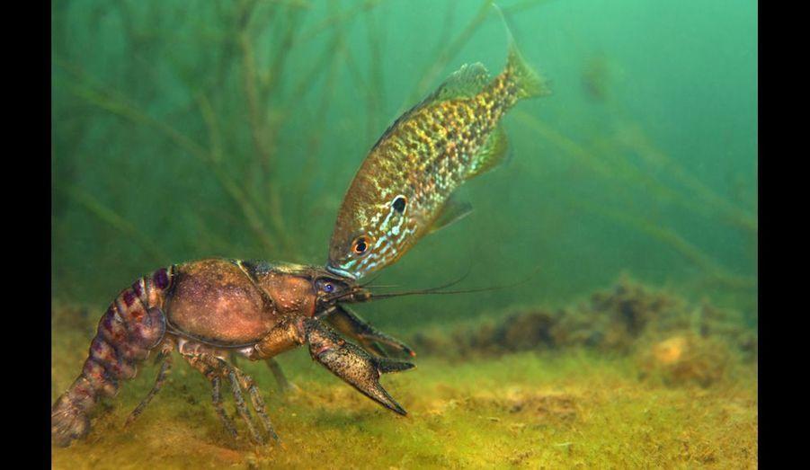 Au fond de l'Hérault, cette écrevisse de Louisiane s'est aventurée là où une perche mâle avait aménagé un nid. Le poisson attaque, vise les yeux...
