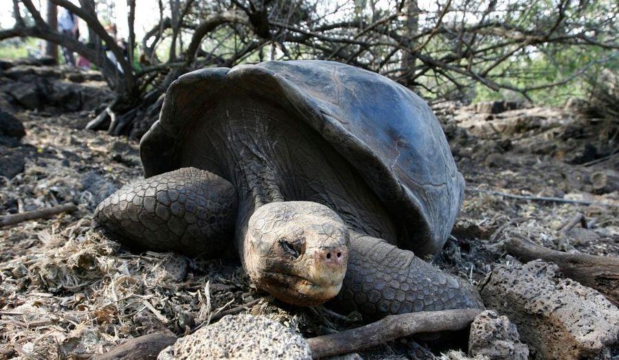 Richard Gere s'engage pour le sauvetage des tortues géantes des îles Galapagos, a annoncé la directrice du Parc national de l'archipel inscrit au patrimoine naturel de l'Humanité par l'Unesco, Vanessa Garcia. Il a notamment rendu visite à George le Solitaire, 105 ans, censé être le seul survivant de l'espèce de tortue géante geochelone abigdoni qui, en dépit de nombreuses tentatives, n'arrive pas à se reproduire. Les tortues géantes, comme d'autres espèces animales, sont menacées par le développement du tourisme dans ces îles équatoriennes. Le père de la théorie de l'évolution, Charles Darwin, y avait jadis effectué nombre de ses recherches.