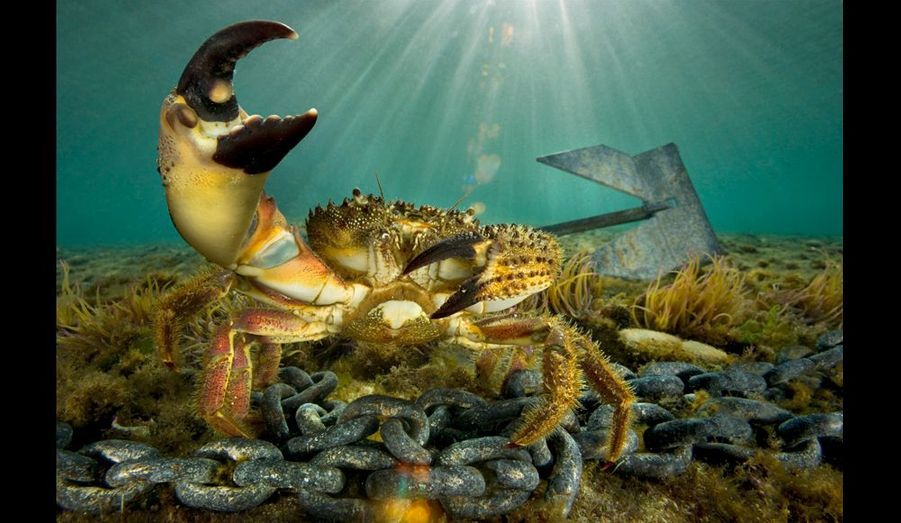 Près d'une ancre perdue, un crabe verruqueux,avec son énorme pince broyeuse et sa petite pince coupante,à 2 mètres de profondeur, près de l'Estaque, dans labase nautique des Corbières. Cette zone, à l'abri par tousles temps, servirait de zone d'échouage pour unnavire en perdition. Des barrages flottants pourraientfacilement être installés en cas de catastrophe.