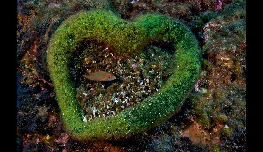 A l'extrémité de la digue du large, au nord, ce labre cendré de 10 centimètresa fait son nid, à 20 mètres de profondeur, dans une algue béret amalgamée – enforme de coeur végétal. C'est le poisson qui a apporté les débris en son centre.