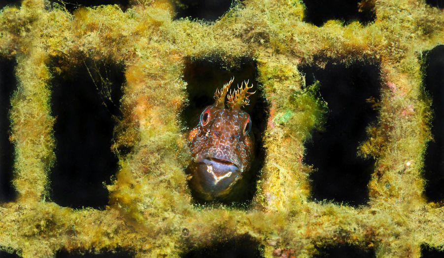 Une blennie baveuse,reconnaissableà ses deux plumeauxau-dessus des yeux,a trouvé refuge dansun vieux parpaingcouvert de végétaux.Ce poisson robuste,qui peut atteindre30 centimètres,délimite son territoireet y vit en confiance.