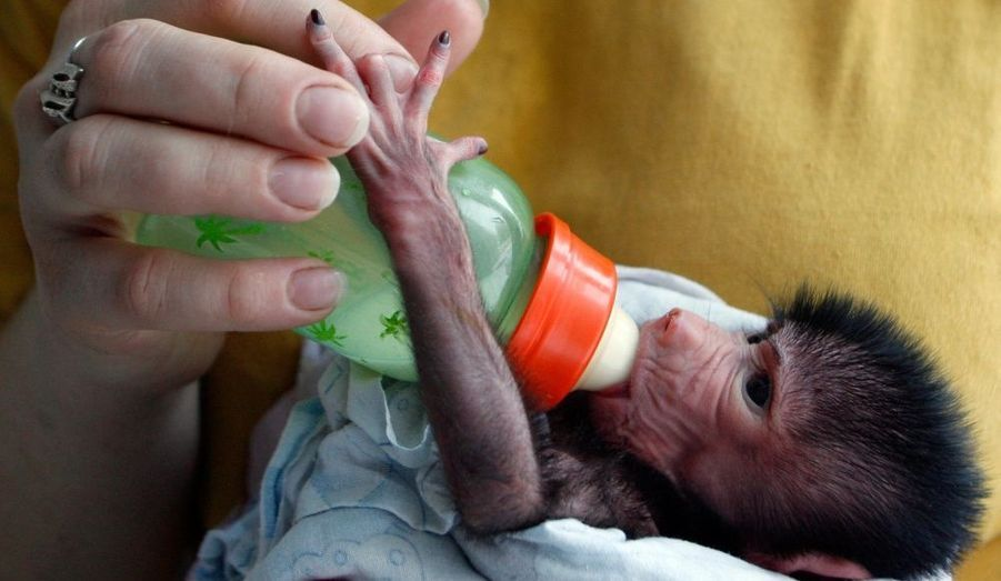 Elle n'a que cinq jours mais boit déjà goulument son biberon. Kira, une petite babouin du zoo de Krasnoyarsk, en Russie, alors même que sa maman babouin ait refusé de l'allaiter.