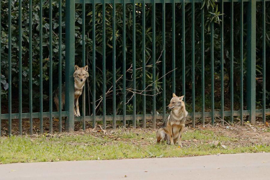 Alors que les Israéliens se sont confinés chez eux, des chacals sauvages ont investi un parc de la ville de Tel-Aviv.