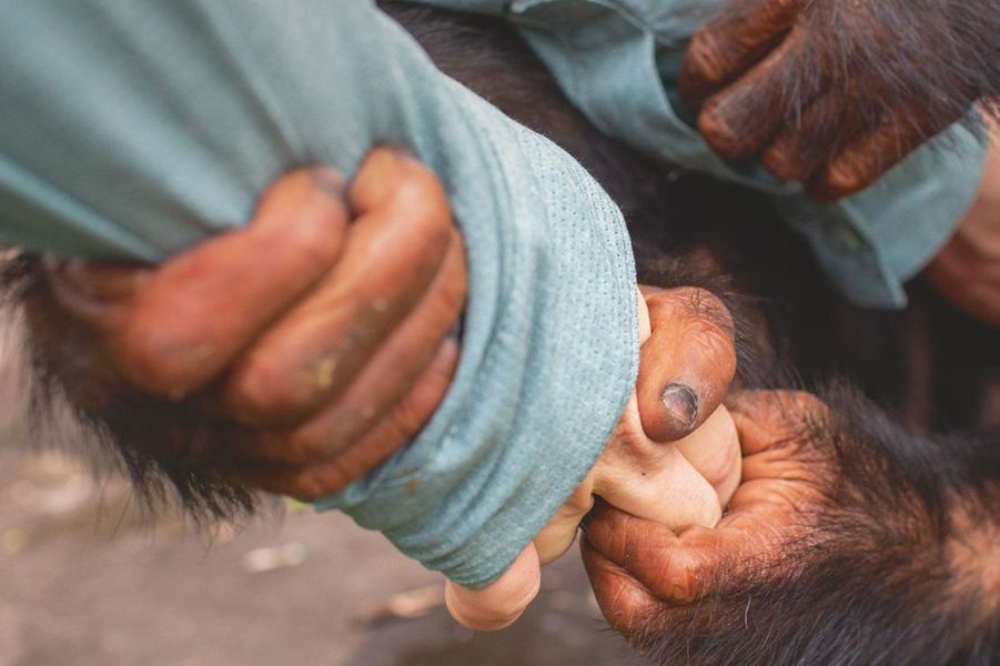 « Dans sa cage, il m'agrippe avec ses mains et ne me lâche plus : il m'a adoptée, je suis son repère maternel. »