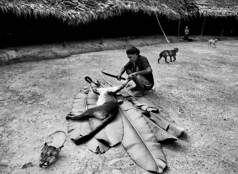 Dépeçage d'un puma : on ne le tue que s'il rôde aux abords du village, menaçant femmes et enfants. Pas question de le manger mais, de sa peau, on fera des sacs, des couvre-chefs chamaniques…